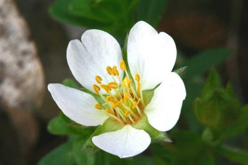 Лапчатка белая: полезные свойства и противопоказания, применение