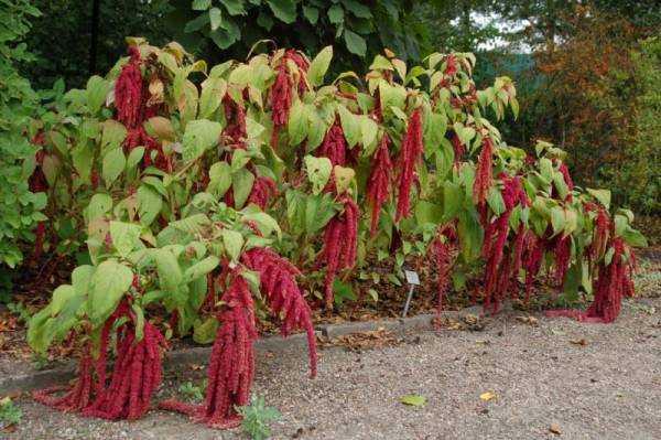 Амарант: полезные и лечебные свойства растения, применение, противопоказания