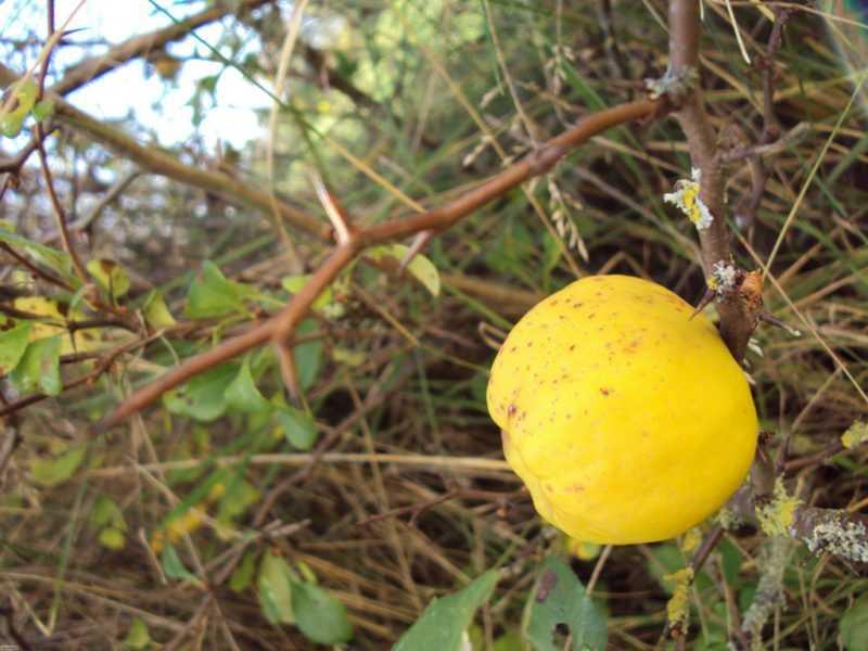 Айва японская (Хеномелес): польза и вред для здоровья, противопоказания