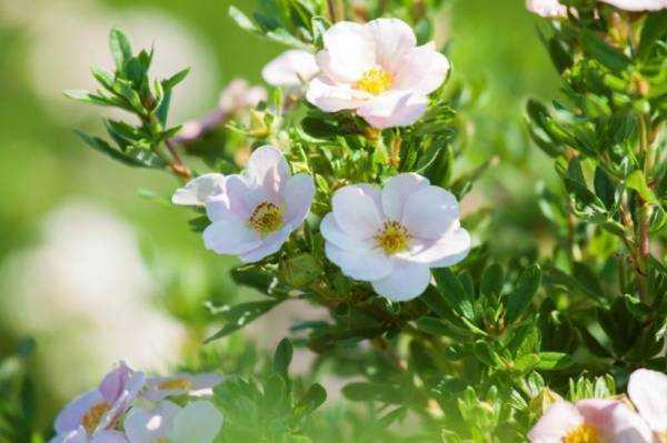 Лапчатка белая (Potentilla alba): применение в народной медицине, противопоказания