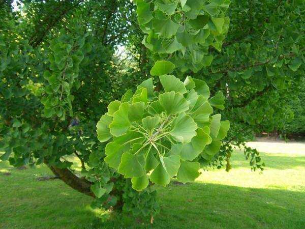 Гинкго билоба (Ginkgo biloba): где растет, описание, интересные факты, полезные свойства растения