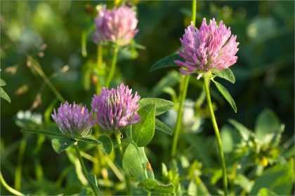 Клевер луговой: описание, лечебные свойства и применение растения