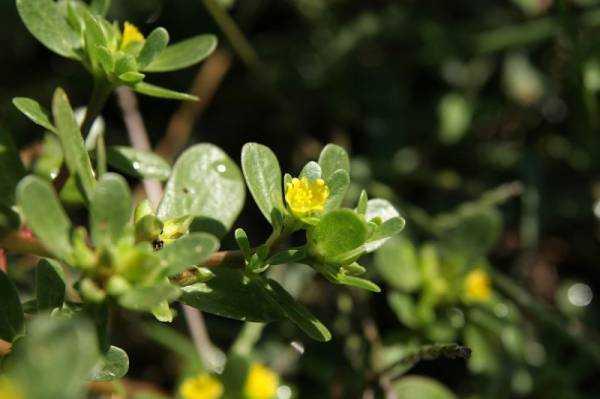 Портулак огородный - лечебные свойства, польза и вред
