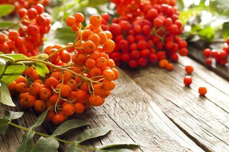 Рябина красная: полезные лечебные свойства и противопоказания
