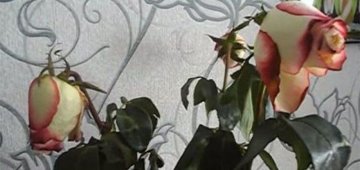 Как оживить букет увядших роз при помощи кипятка. Способ работает великолепно, сложно поверить глазам!