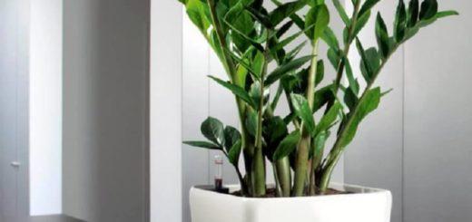 Красавец замиокулькас: 10 плюсов в пользу экзотического растения в вашем доме!