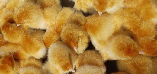 К чему снятся много маленьких цыплят?
