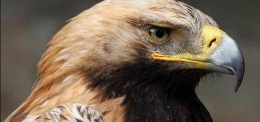 К чему снится орел по сонникам Миллера, Фрейда, Медеи