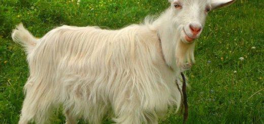 К чему снится коза по известным сонникам Миллера и Ванги