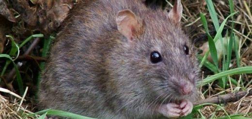 К чему снится серая крыса по сонникам Миллера, Ванги