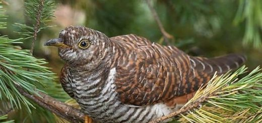 Приметы про кукушку, связанные с ее кукованием или просто увиденной птицей