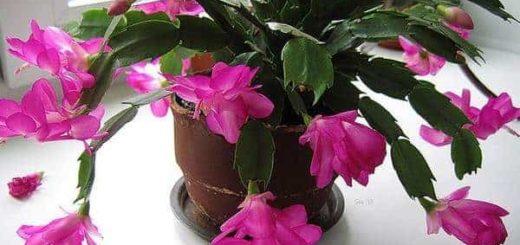 Приметы и суеверия: можно ли в доме держать цветок Декабрист