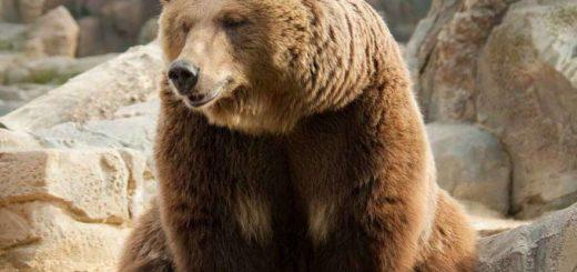 К чему снится медведь по сонникам Миллера, Ванги, Фрейда