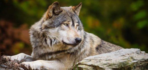 К чему снится волк по сонникам Фрейда, Нострадамуса и Миллера