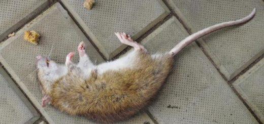 К чему снится убить мышь, толкования по разным сонникам