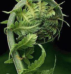 Примета: листья папоротника закручиваются к низу