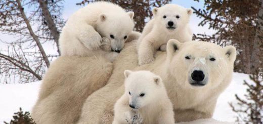 К чему снится белый медведь и значение сна по основным сонникам