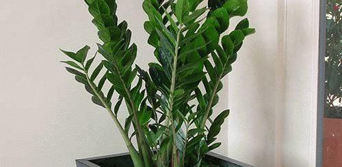 Цветок Замиокулькас (долларовое дерево): фото и приметы в доме