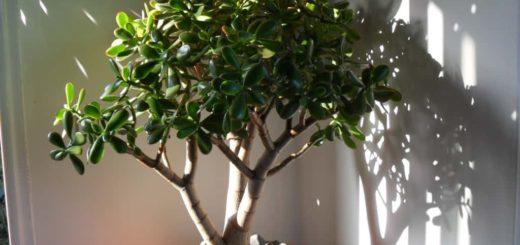 Денежное дерево приметы и суеверия, к чему цветёт и падает