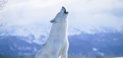 К чему снится белый волк по популярным сонникам Миллера, Фрейда