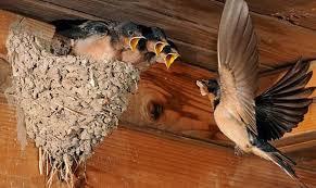 Народная примета: ласточка залетела в дом или свила гнездо на стене жилища