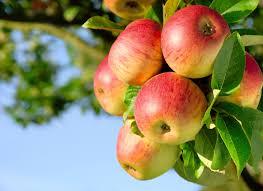 К чему снится собирать яблоки по сонникам Миллера, Фрейда, Нострадамуса, Ванги