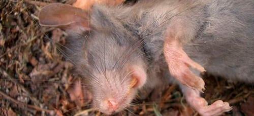 К чему снится дохлая крыса по сонникам Миллера, Ванги, Лоффа и Фрейда