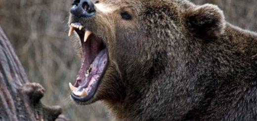 К чему снится медведь мужчине по сонникам Фрейда, Хассе