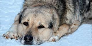 К чему снится раненая собака по сонникам Миллера, Фрейда, Лоффа, Цветкова, Лонго