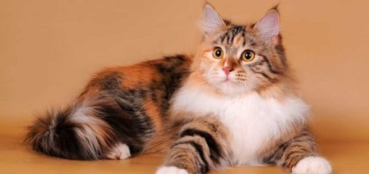 Примета: трехцветная кошка в доме