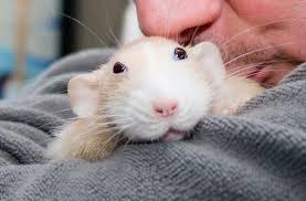 К чему снятся белые мыши по сонникам Миллера, Фрейда, Ванги, Цветкова