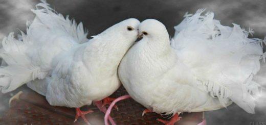К чему снится голубь и почему голубь - самый благоприятный знак