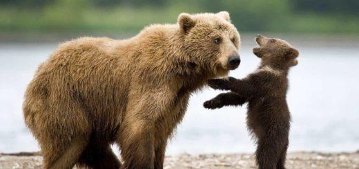 К чему снится медвежонок по сонникам Фрейда, Ванги и Миллера