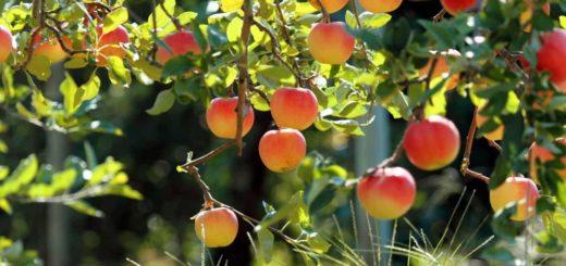 К чему снится яблоня по сонникам Фрейда, Миллера