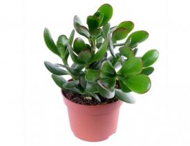 Денежное дерево (толстянка) - выращивание и уход в домашних условиях