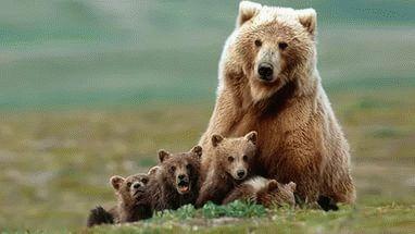 К чему снится медведица с медвежатами?