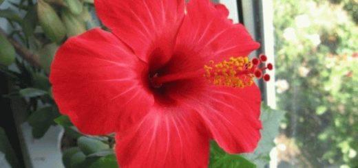 Китайская роза в доме - приметы