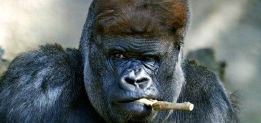 К чему снится горилла по сонникам Миллера, Менегетти