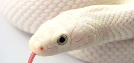 К чему снится белая змея по сонникам Миллера, Лоффа, Фрейда