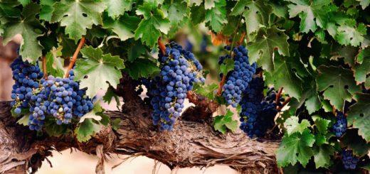 К чему снится виноград - трактовка по сонникам Миллера, Ванги, Лонго