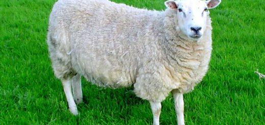 К чему снятся овцы по сонникам Хассе, Эзопа, Менегетти