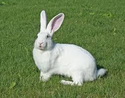 К чему снится кролик по сонникам Миллера, Ванги, Фрейда