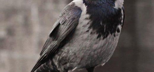 Приметы про ворон - что пророчит черный пернатый