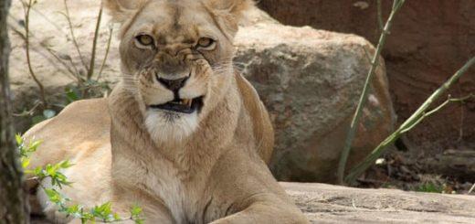 К чему снится львица по сонникам Нострадамуса, Фрейда, Миллера