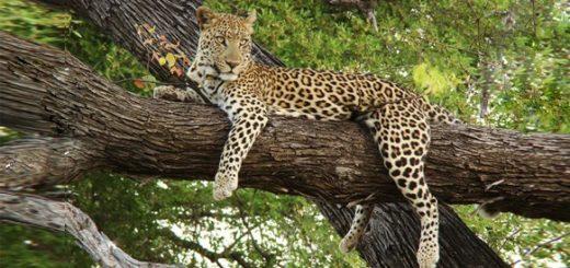 К чему снится леопард по толкованиям сонников и основным значениям