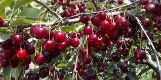 К чему снится спелая вишня на дереве по сонникам Фрейда, Миллера, Ванги