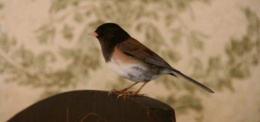 Примета: птица залетела в окно