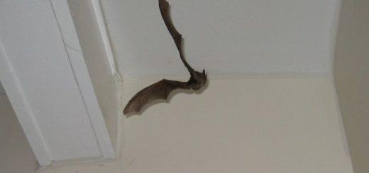 Примета: летучая мышь залетела в дом через окно