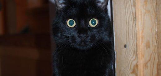 Черный кот в вашем доме: основные приметы и суеверия