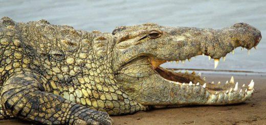 К чему снится крокодил по сонникам и толкованиям сновидений